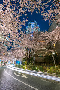 Roppongi Sakura At Night