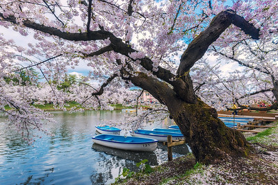 Blossoms Over Boats On The Moat