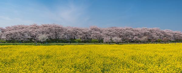 Satte Cherry Blossom Panorama