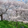 Spring Sakura Picnic