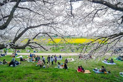 Hanami in Satte Japan