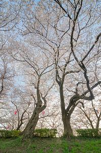 A Look Up Into Sakura