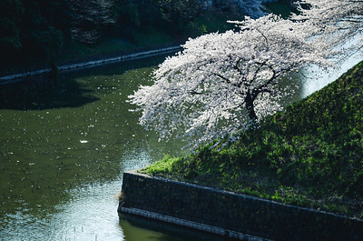 The Corner Sakura