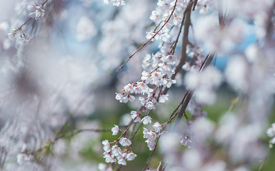 Hanging Weeping Cherry Blossom Branches