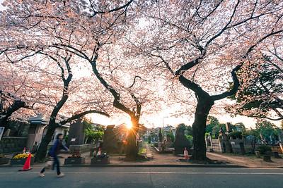 Sakura Sunburst In Yanaka