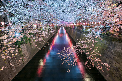 Light Up At Nakameguro Sakura