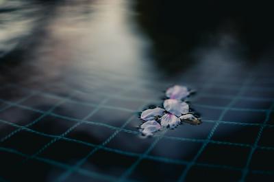 Floating Sakura