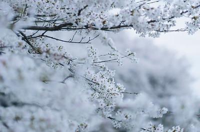 Sakura At Full Bloom In Satte