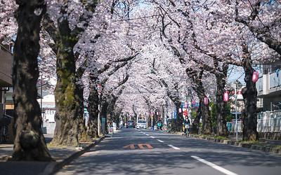 Cherry Blossom Tunnel In Chiba Prefecture