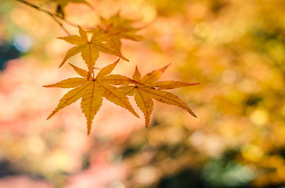 Cluster of Orange Japanese Maple Leaves