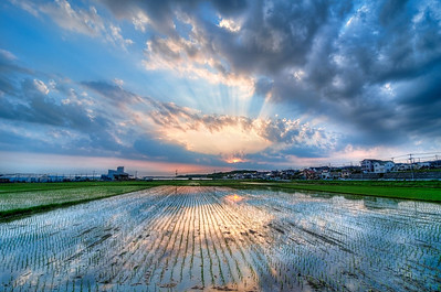 Rice Fields and Sunbeams