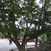 Acer palmatum <br /> Tsurugaoka - Hachimanguu Shrine