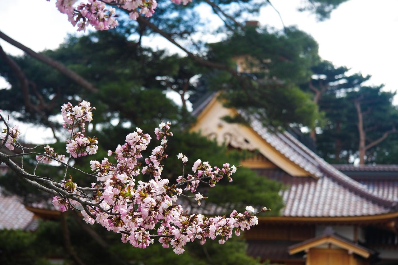 First cherry blossoms of Hokkaido