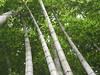 021 Moso Bamboo