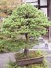 006 Bonsai Pine