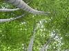 019 Moso Bamboo