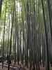 016 Moso Bamboo