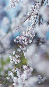 Hirosaki Weeping Cherry Blossoms_Portrait