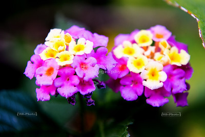 Two-colored flowers