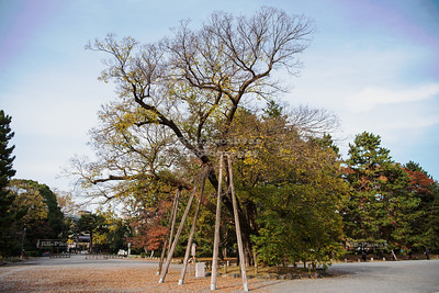 Muku tree of the Shimizudani Residence