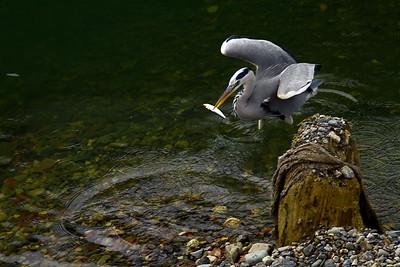 Hozu river heron