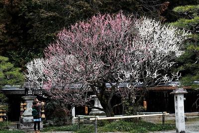 Umenomiya-3540