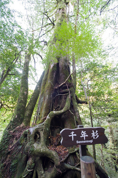 """Sennensugi"" translates to ""Thousand year old tree."" Think about that for a moment."