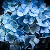 Blue Flowers Vignette