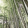 Bamboo Forest in Muted Color