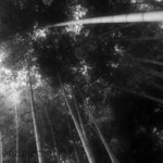 Bamboo Forest in Black and White