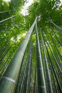 Towering Bamboo Shoots