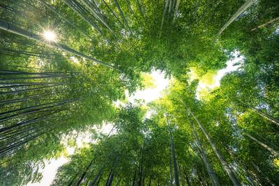 Bamboo Canopy of Nenbutsuji