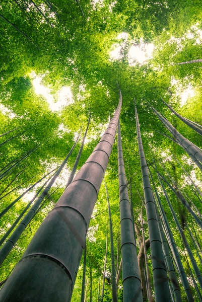 Towering Bamboo In Kyoto