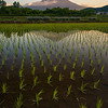 Mt Fuji Reflected In A Water Filled Rice Paddy