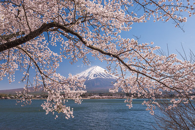 Mt Fuji Through Cherry Blossoms