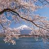 Mt Fuji Through Cherry Blossoms