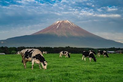 Cows Grazing By Mt Fuji