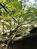 Maple tree with new leaves