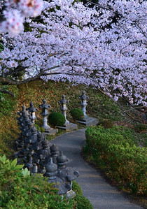 Cherry Blossom Path