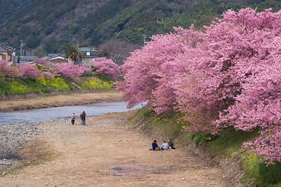 Enjoying The Kawazu Sakura River Bank