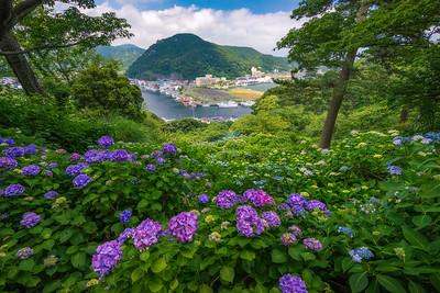 Flowering Hydrangeas In Shizuoka Japan