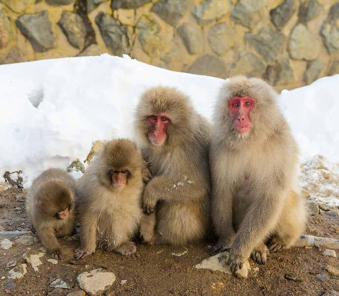 Snow Monkeys of Jigokudani Yaenkoen
