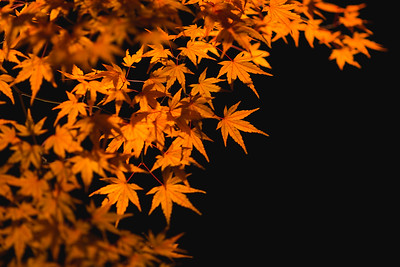 Fall Foliage Illuminated At Night