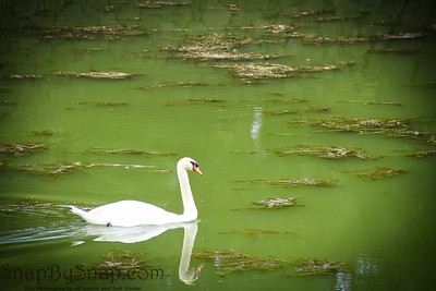 Swan on Green Water
