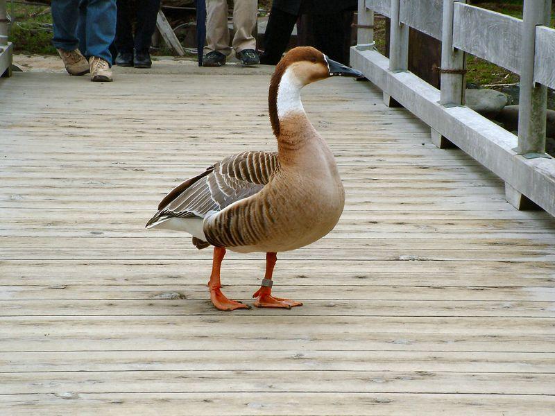 Goose crossing bridge