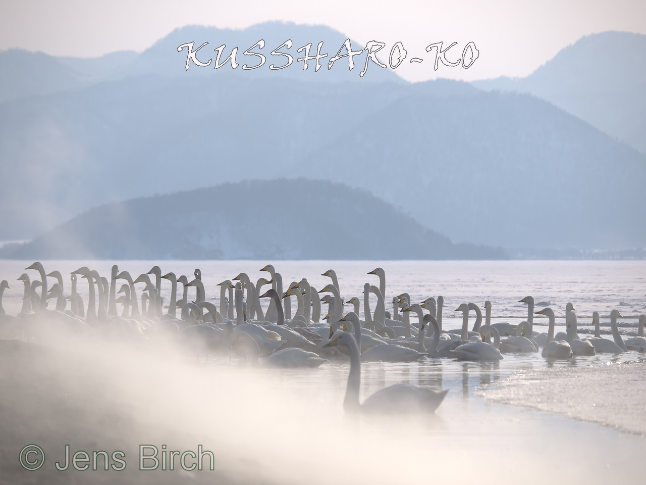 A large number of wooper swans gather in lake Kussharo where hot springs keep a bit of water open.