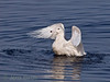 Glaugous gull bathing in a river mouth.