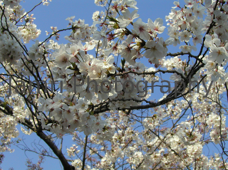 Sakura against the blue sky, Tsurumai Park, Nagoya, Aichi-ken, Japan