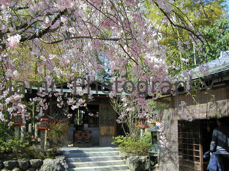 Shidare-zakura (Weeping Cherry Tree), Arashiyama, Kyoto-fu, Japan