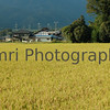 Golden Field, Omi-Imazu, Shiga-ken, Japan